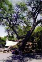 Another angle looking at the campsite. The tree we're set up under is a Kiawe, a Hawai'ian version of mesquite.