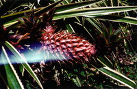 A pineapple growing by the side of the Pettus' driveway in Honoka'a.