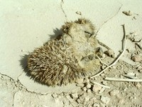 Some sort of dead, dried-up animal. I think it may be a hedgehog, although I've never seen one before.