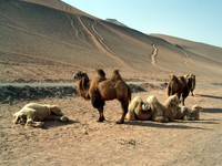 Camel posse hangs out next to a sand mountain.