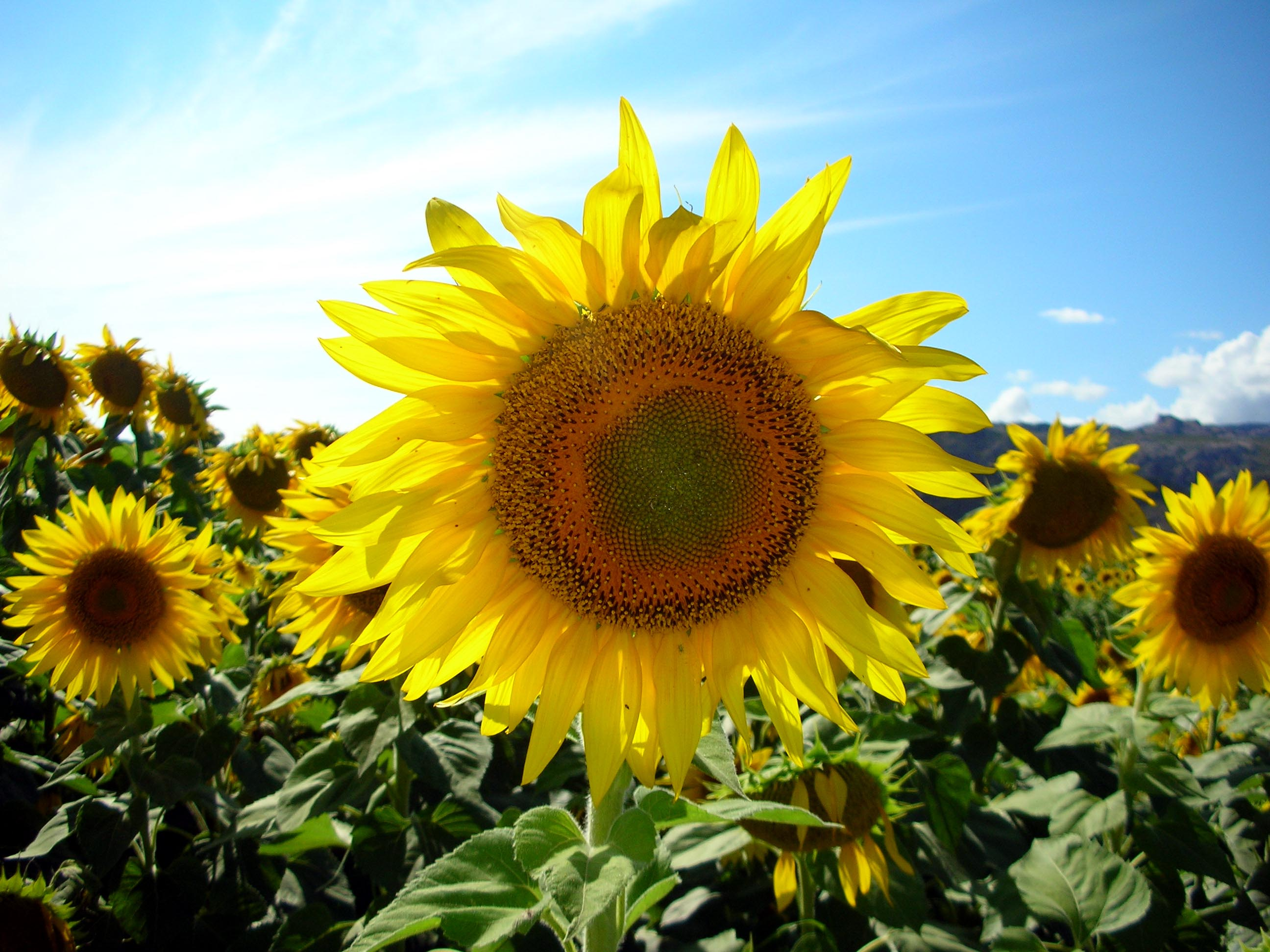 Sunflower power! It's true... sunflowers are the most photogenic object on earth, and there were lots of 'em around Hongqi.