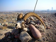 I spotted these massive horns on another visit to the Uyghur graveyard on the edge of Korla... the city looms in the background.