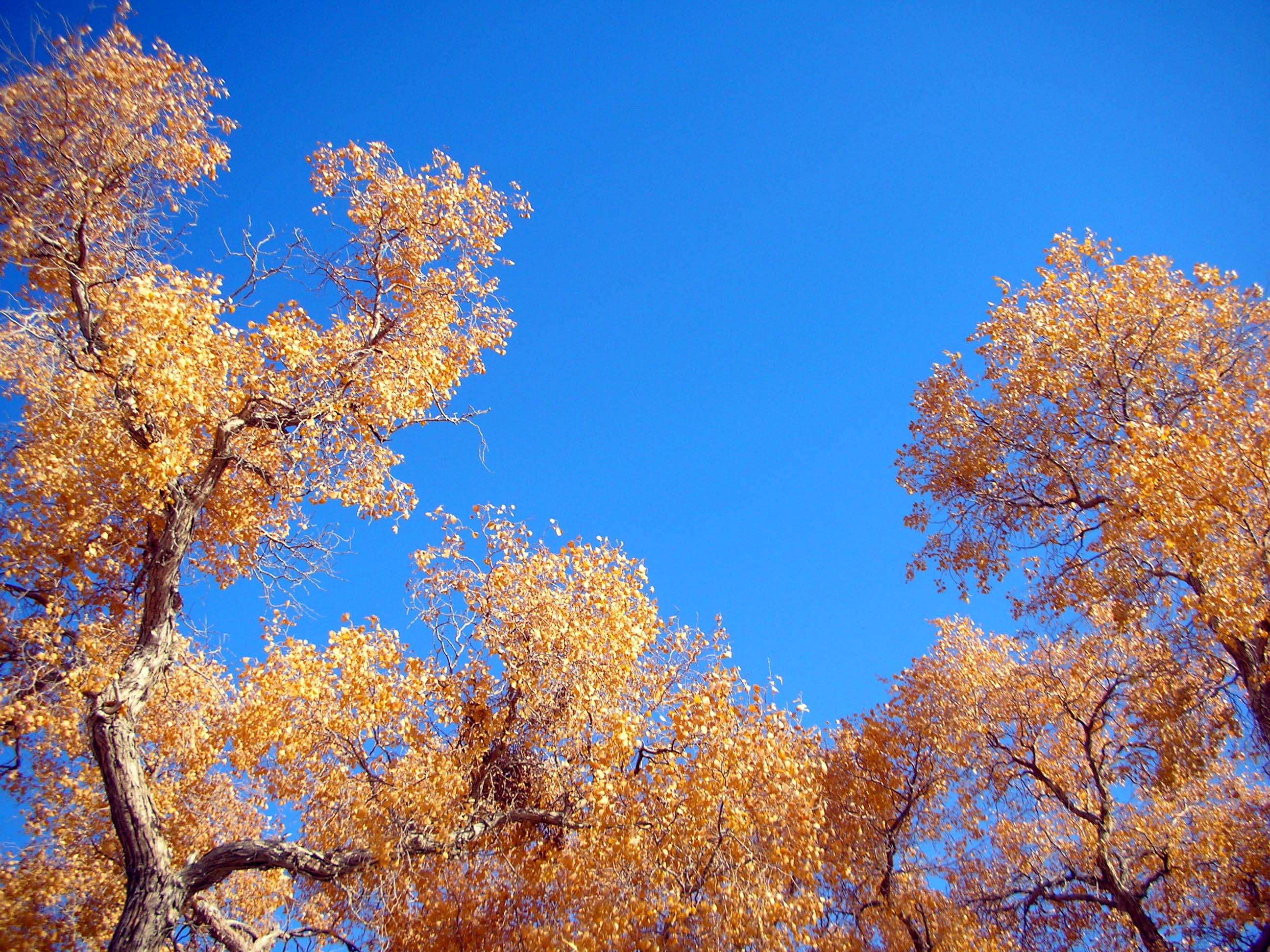 Xinjiang's diversifolius poplar trees are spectacular against a clear autumn sky.