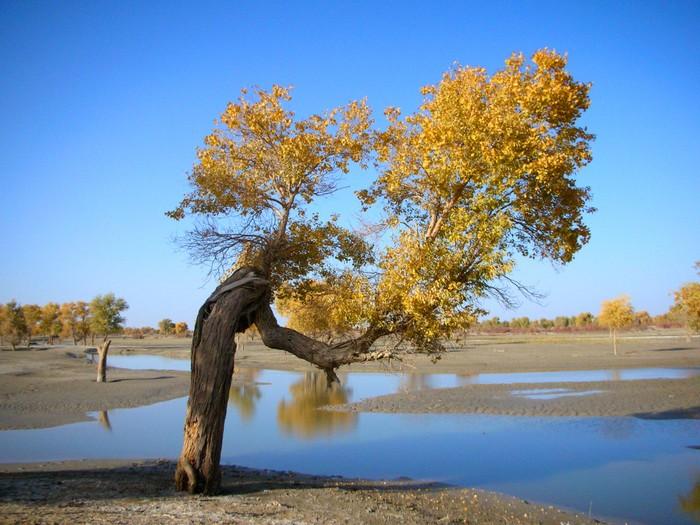 A single diversifolius poplar grows along the Tarim River.