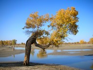 A single diversifolius poplar grows along the Tarim River.