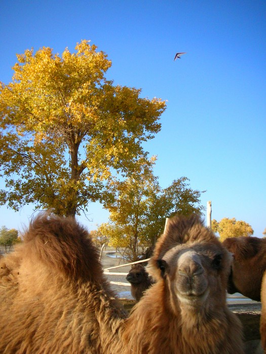 A camel sizes me up while an ultra-light aircraft buzzes overhead.