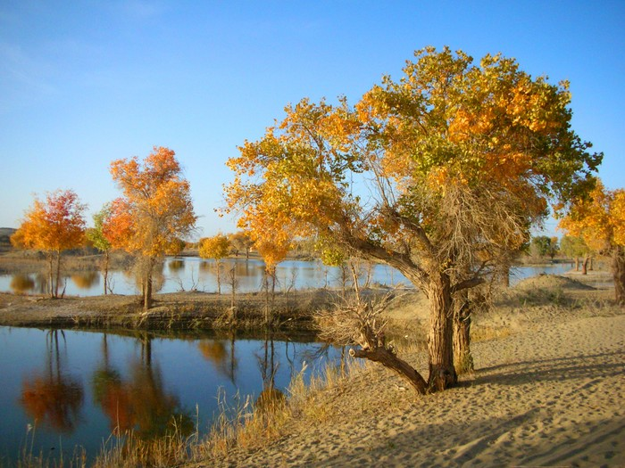 The diversifolius poplar trees are awesome against the still waters of the Tarim River and the sands of the Taklamakan.