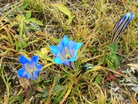 We saw these lovely blue wildflowers growing in a few locations in Tibet, but always above 4500 meters.