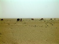 Seeing a pack of wild camels in the desert west of Niya was pretty cool. Unfortunately, the closer I came the quicker they ran away, so I couldnt' get a close-up.