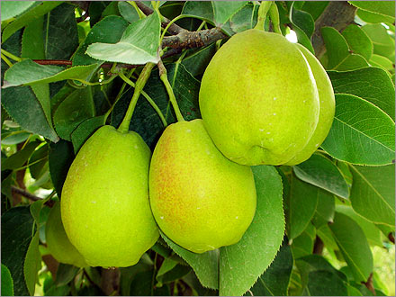 Delicious, ripe Korla Fragrant Pears, ready for the pickin'.