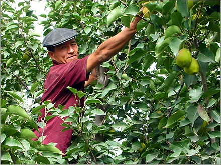 A Uyghur pear picker picks pears.