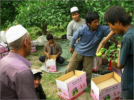Migrant Uyghur pear pickers get back to work after a lunchtime break.