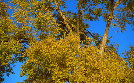 Diversifolius Poplar leaves in Xinjiang