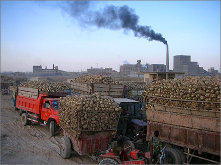 Photographs of the 2007 sugar beet harvest in Xinjiang, China.