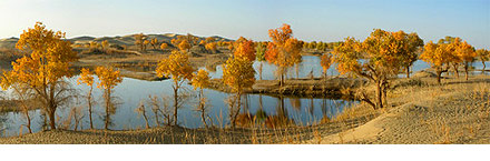 Diversifolious Poplar trees along the Tarim River in Yuli County, Xinjiang.
